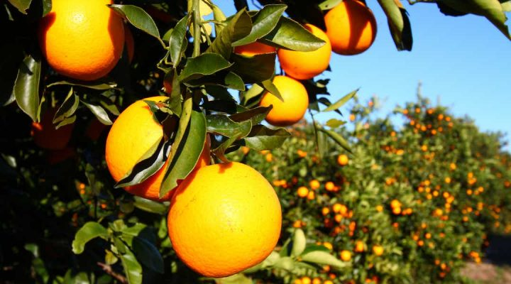 Brazil – Orange crop forecast and juice production 2021/22